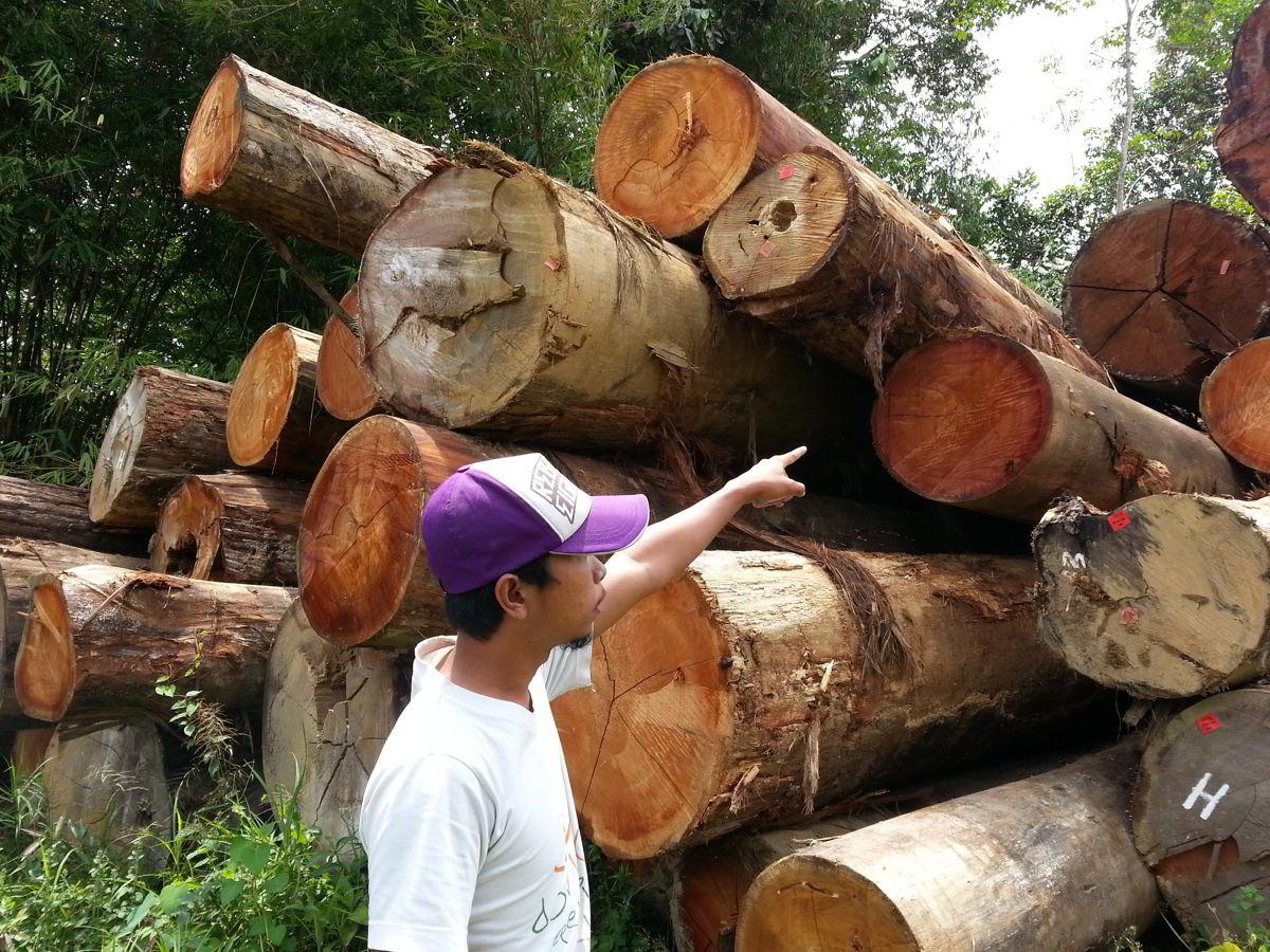 pemilihan kayu dari hutan 2